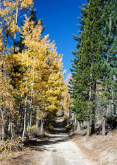 Yellow leaves of Aspen trees and green leaves of pine trees on trail