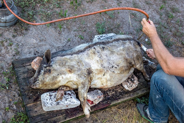 Burning a domestic pig before cutting. Removal of pig hair.