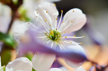 spring blossom white flower close up
