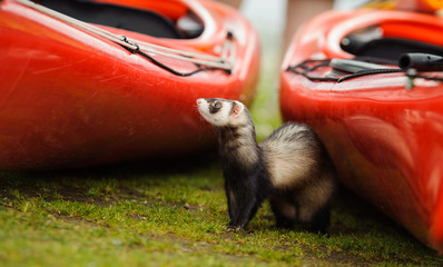 Ferret outdoor portrait in between two red kayaks
