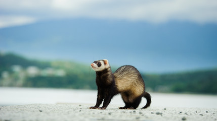 Ferret outdoor portrait with mountains in background
