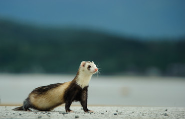 Ferret outdoor portrait standing in nature