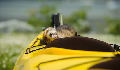 Ferret outdoor portrait in yellow kayak