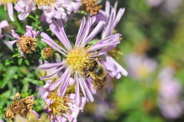 The European honey bee (Apis mellifera) pollinating Aster flower. Honey bee on autumn flowers in garden