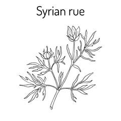 Syrian rue Peganum harmala , medicinal plant