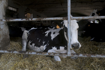 Holstein friesian dairy cow in a shed