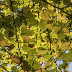 leaves of beech tree