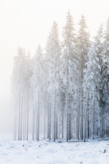 Frost on the trees in the spruce forest in the winter with cold fog
