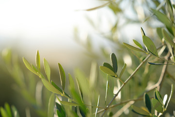 Olive tree in Italy, harvesting time. Sunset olive garden, detail, Tuscany, Italy, Europe.