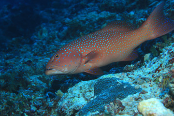 Roving coralgrouper fish