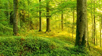 Unberührter Wald im warmen Licht der Morgensonne