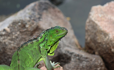 Chinese water dragon lying on the ground is an island and rocks. Green Iguana found in the countries of Central America and the Gulf. (Physignathus cocincinus)