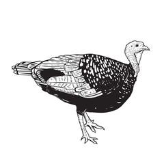 Illustration of the turkey isolated on white background. Thanksgiving theme.