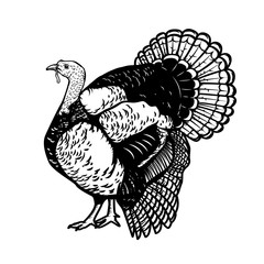 Illustration of the turkey isolated on white background. Thanksgiving theme.