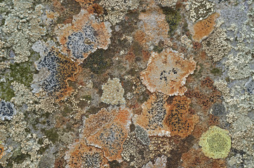 Different lichen species covering rock surface