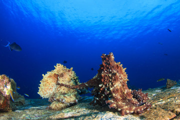 Reef Octopus pair mating in ocean