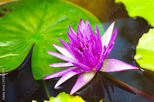 Purple lotus flower prominently associated in the arts and religion purple lotus flower prominently associated in the arts and religion auspicious symbols in buddhism and hinduism mightylinksfo