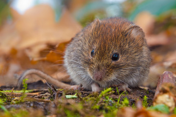Bank Vole between autumn leaves