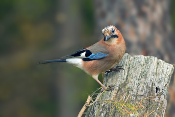 beautiful bird Jay with bright colorful feathers