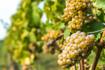 Grapes of whitte vine on vineyeard