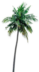 coconut tree alone or single on isolate white background