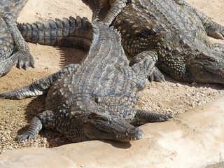 Printed roller blinds Tiger Crocodiles du Nil au Maroc