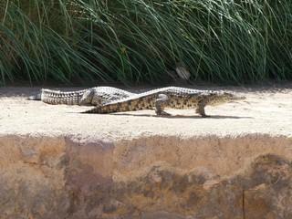 Crocodiles du Nil au Maroc