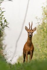 Wall Mural - Curious deer