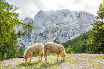 Pair of sheep grazing in the mountains.