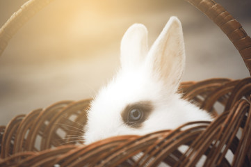 The side view of  small decorative white rabbit is sitting into the basket and peeps out. The Easter and celebration at home concept. Instagram toned.