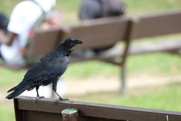 Crow on a park bench