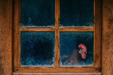 Cock portrait. Chicken in henhouse. Funny domestic animal looking through old vintage wooden reflected dirty window. Atmospheric and mood photography. Chicken coop. Odd bizarre wildlife concept.
