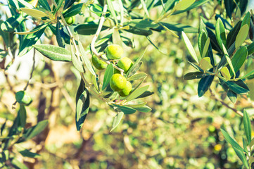 Olive tree with branches of green olives.