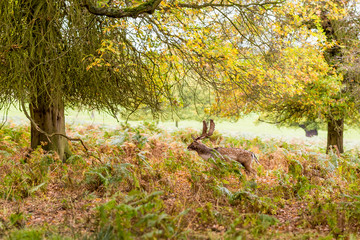 Deers in Richmond park in the autumn