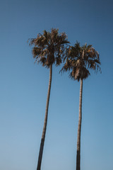 Beautiful palms in Los Angeles by the Venice beach. Californian dreaming.