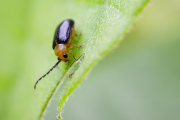 Image of Twin-spotted Beetle (Oides andreweisi) on green leaves. Insect Animal