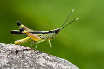 Image of sugarcane white-tipped locust (Ceracris fasciata) on a rock. Insect. Animal. Caelifera., Acrididae