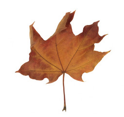 Red maple leaf as an autumn symbol on a white background