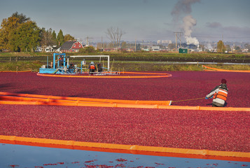 Cranberry Harvest. Cranberries harvested on a flooded cranberry bog. Richmond, British Columbia, Canada.