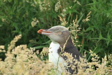 yellow-eyed penguin new zealand