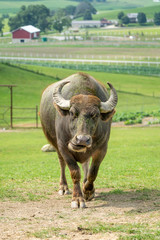 Bull on the Farm