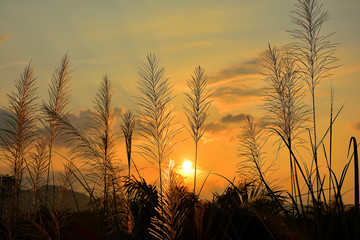 Reed flower with sunset background
