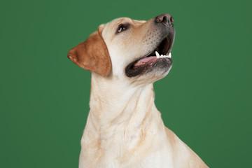 Cute Labrador Retriever on color background