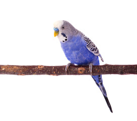 Wavy parrot blue color isolated on white background. Budgerigars isolated