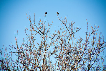two black birds on bare branches of trees against the blue sky...