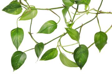 Indoor evergreen plant liana isolated