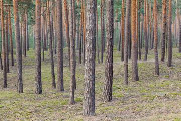 Papiers peints Forets Kiefernbäume Wald