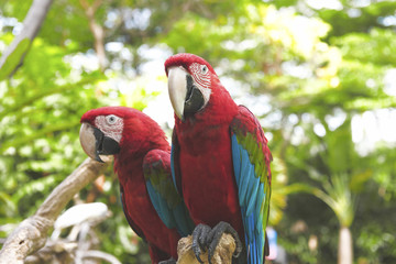 Two beautiful scarlet macaws (Ara macao) sitting on tree branch