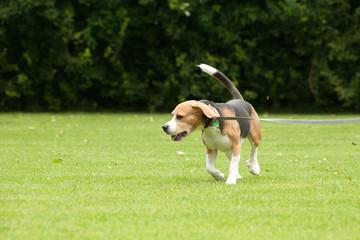 beagle outdoors