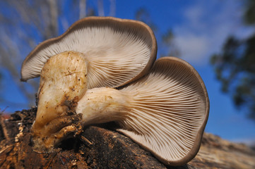 Oyster mushroom or Pleurotus ostreatus background photo close-up. Healing and easily cultivated mushroom